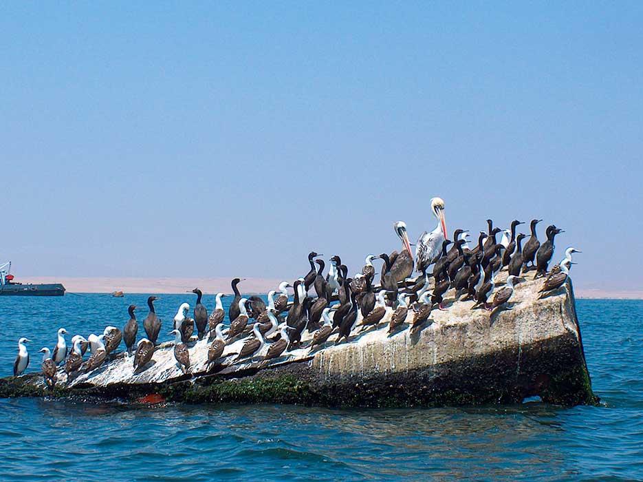 Réserve de Paracas oiseaux